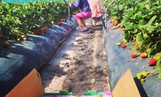Agrowisata Petik Stroberi di Bedugul