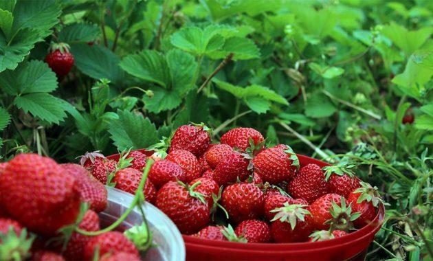 Agrowisata Petik Stroberi di Ciwidey