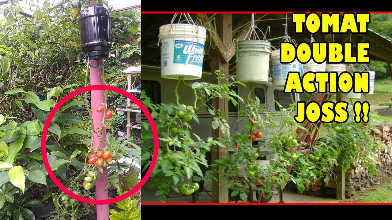 Perbanyak tanaman tomat metode biji