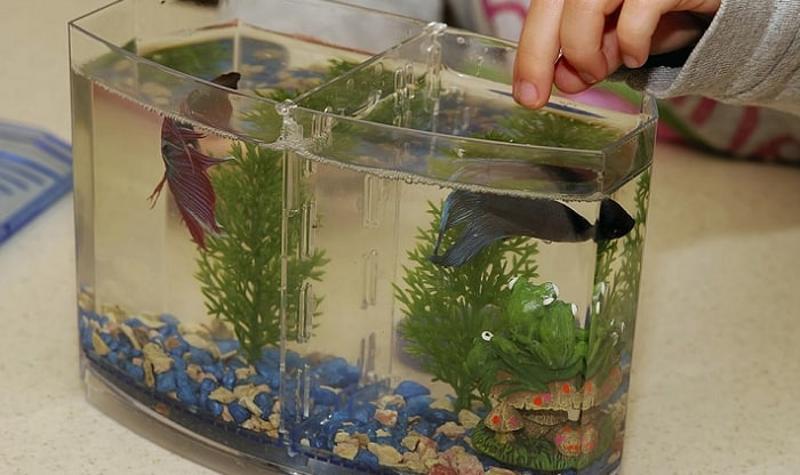 Budidaya Ikan Cupang Hias