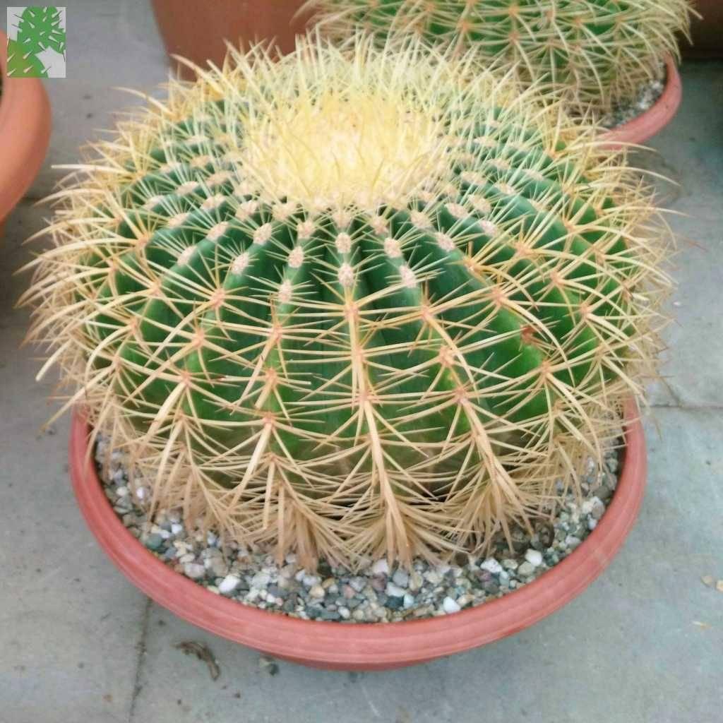 Kaktus mini Echinocactus grusonii
