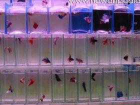 Langkah praktis Budidaya Ikan Cupang