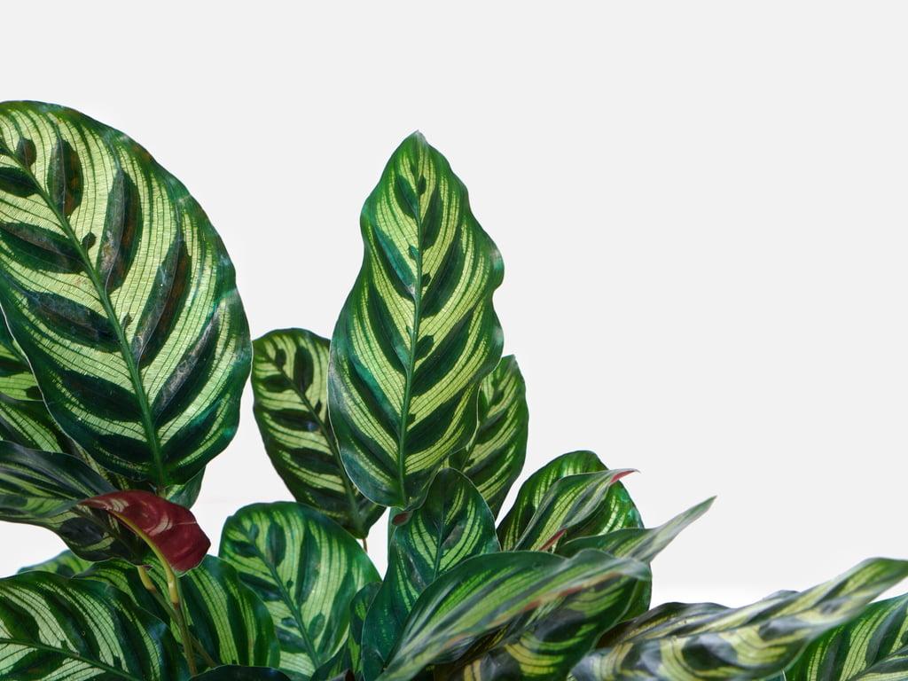 10 Jenis Calathea Berdaun Unik & Cocok Ditanam Dalam Ruangan Taman Inspirasi SAFA