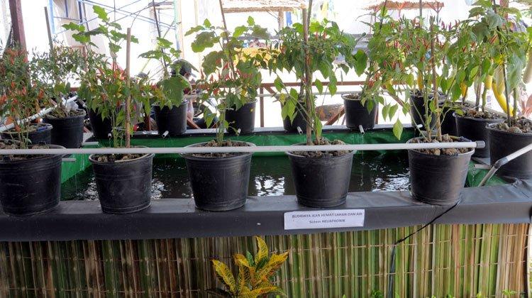 Budidaya Cabe aquaponik Praktis