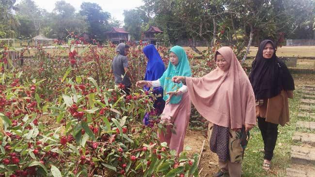 Bunga Rosella : Manfaat dan Cara Budidayanya Taman Inspirasi SAFA