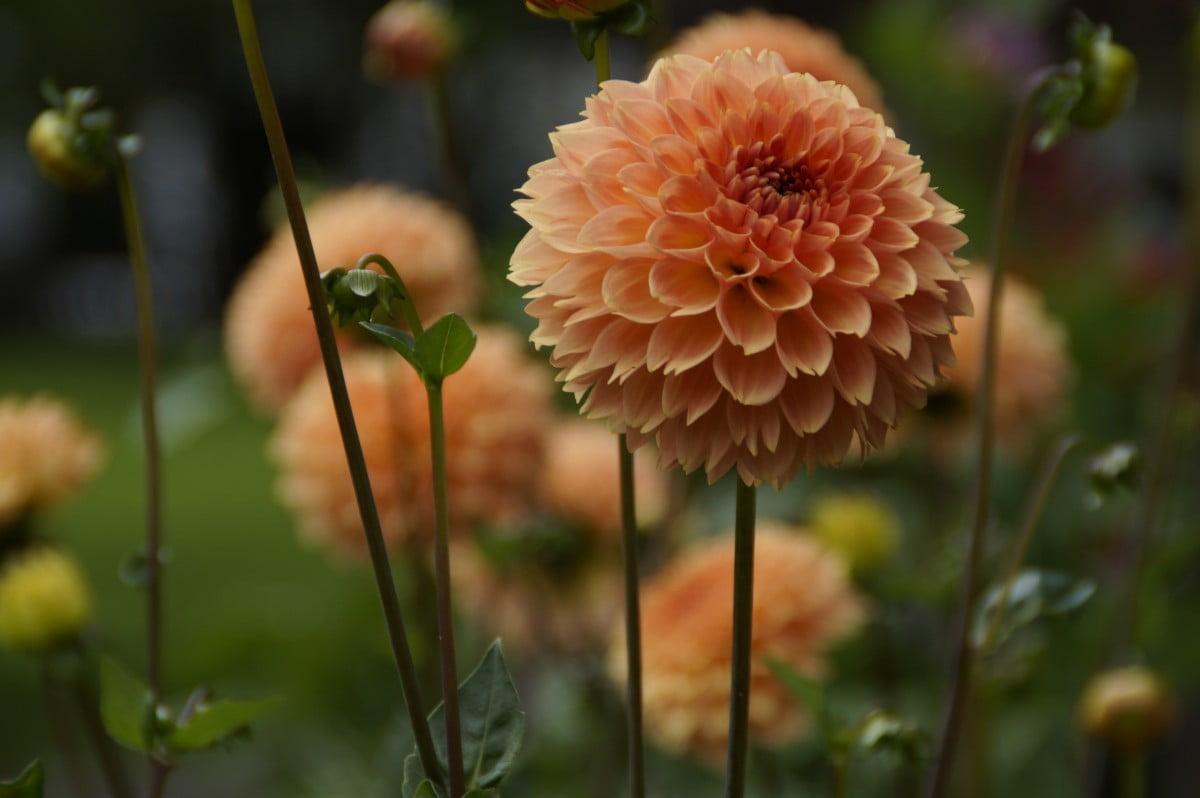 Bunga Dahlia Bola