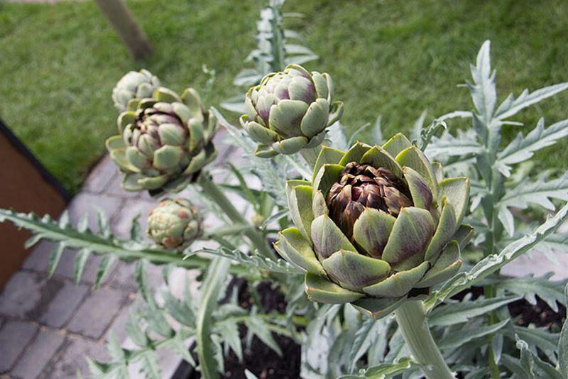 Daun tanaman artichoke pengusir kolesterol jahat