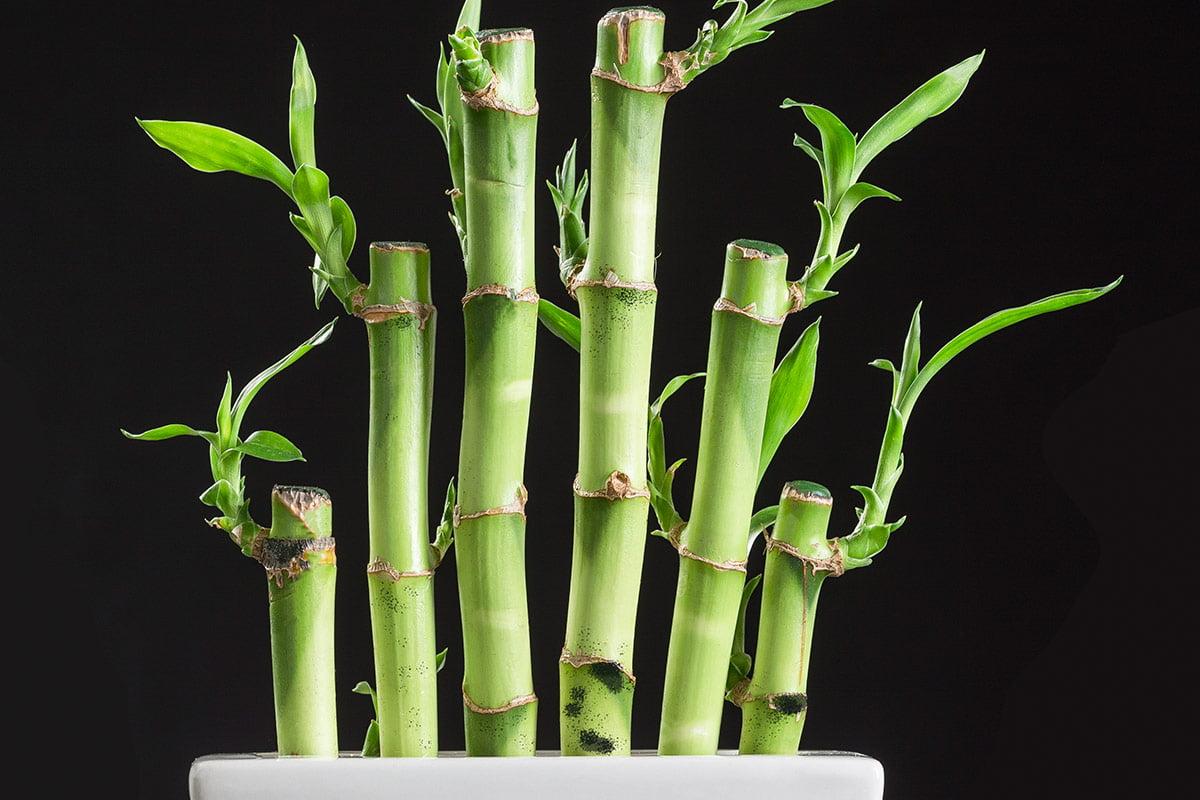 Stek Batang Tanaman Bambu Air