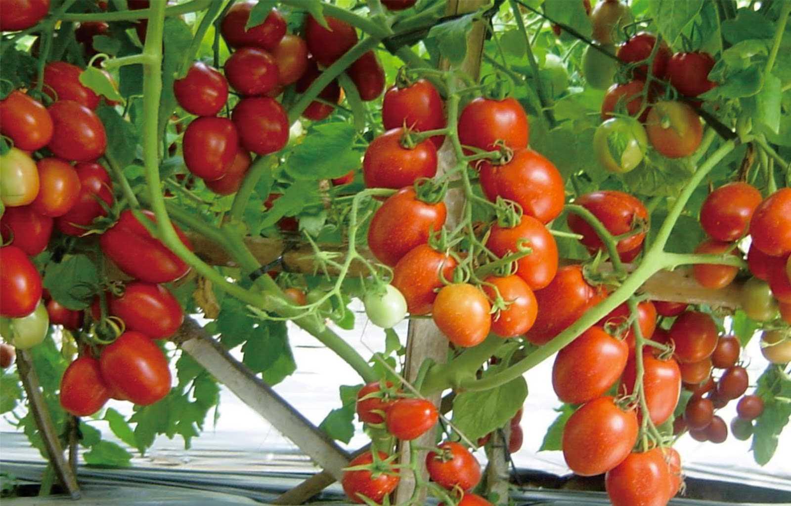 Tanam Tomat dalam Pot