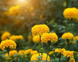 Tanaman Bunga Marigold