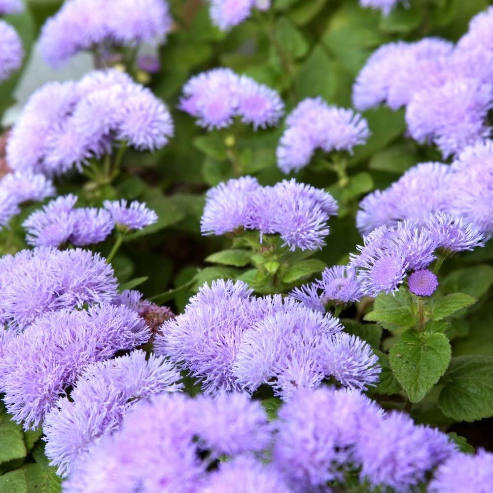Tanaman Bunga Pennyroyal