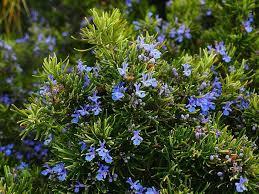 Tanaman Bunga Rosemary