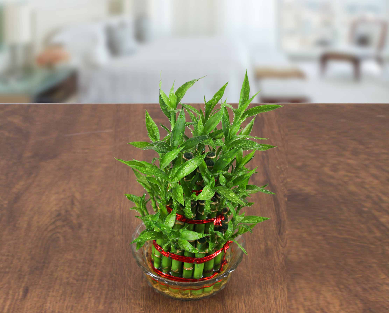 Tanaman Hias Bambu Air mini