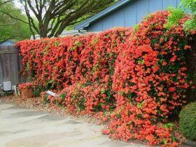 Jenis Tanaman bunga sebagai pagar rumah