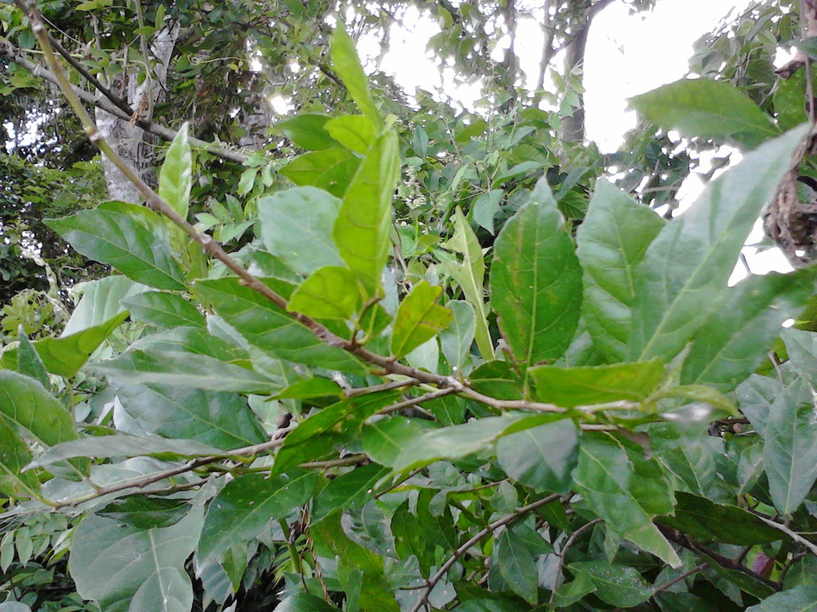 Pohon Serut Liar di Alam Bebas