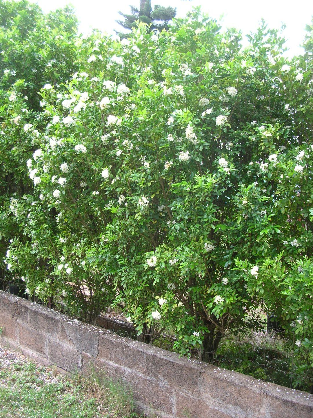 Tanaman Bunga Kemuning sebagai Pagar Rumah