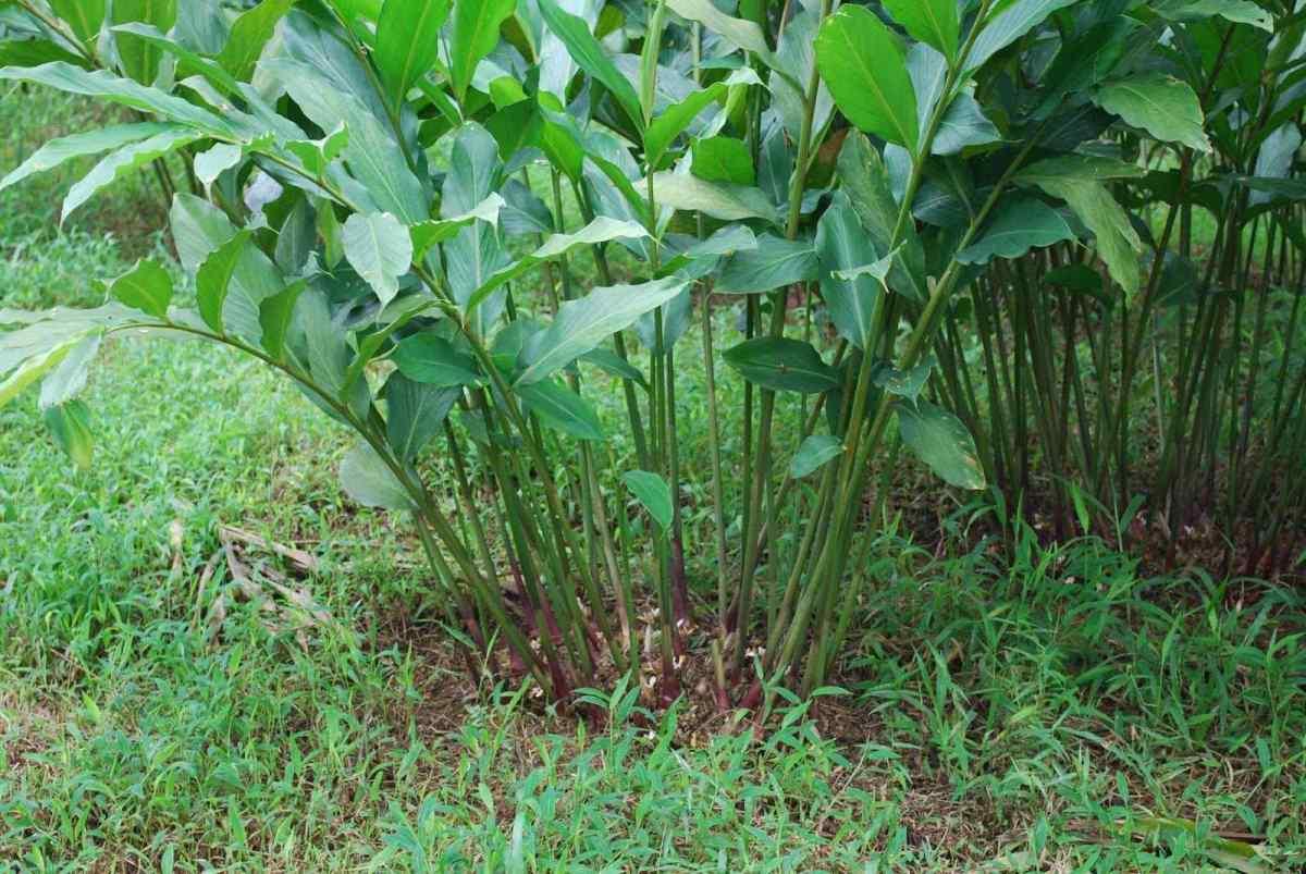 Manfaat tanaman Kapulaga dan Cara Budidayanya