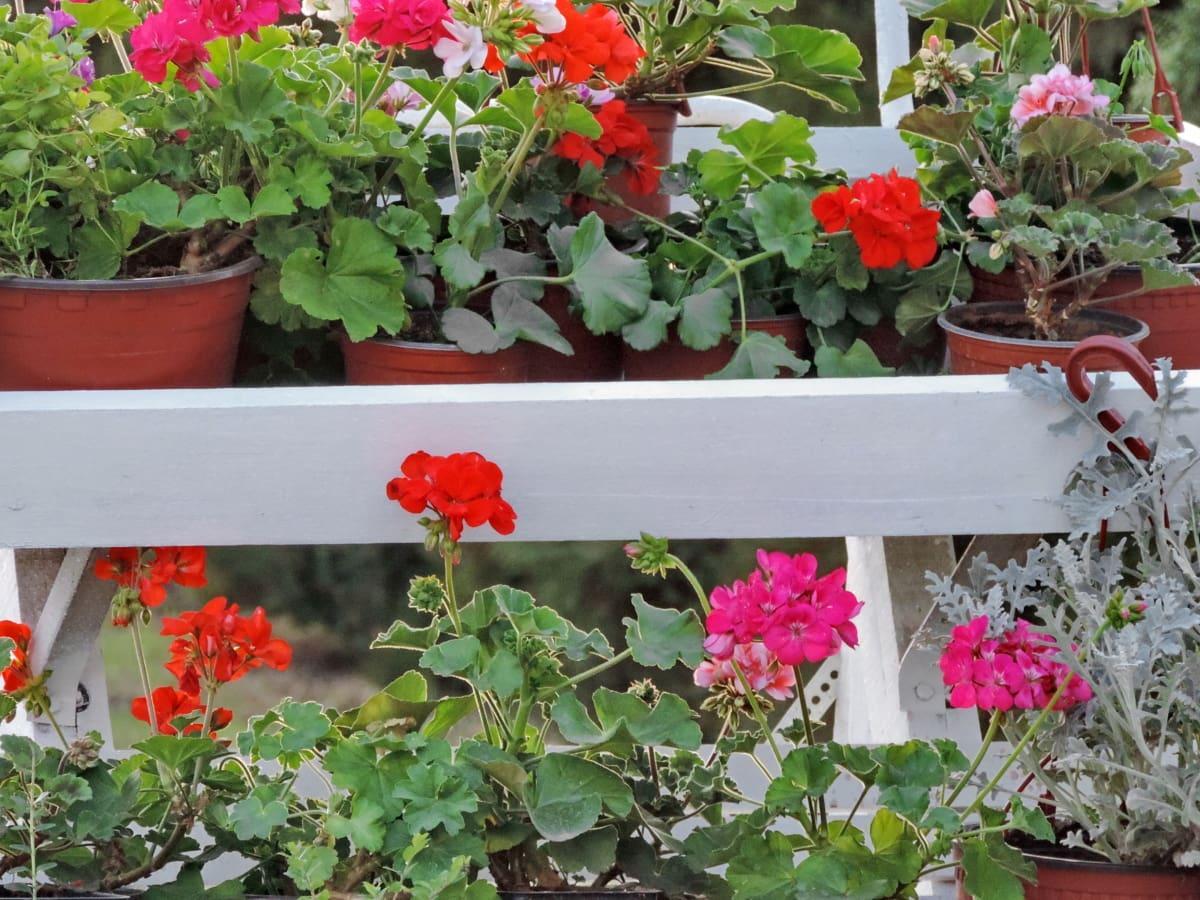 Menanam Bunga Geranium dalam Pot
