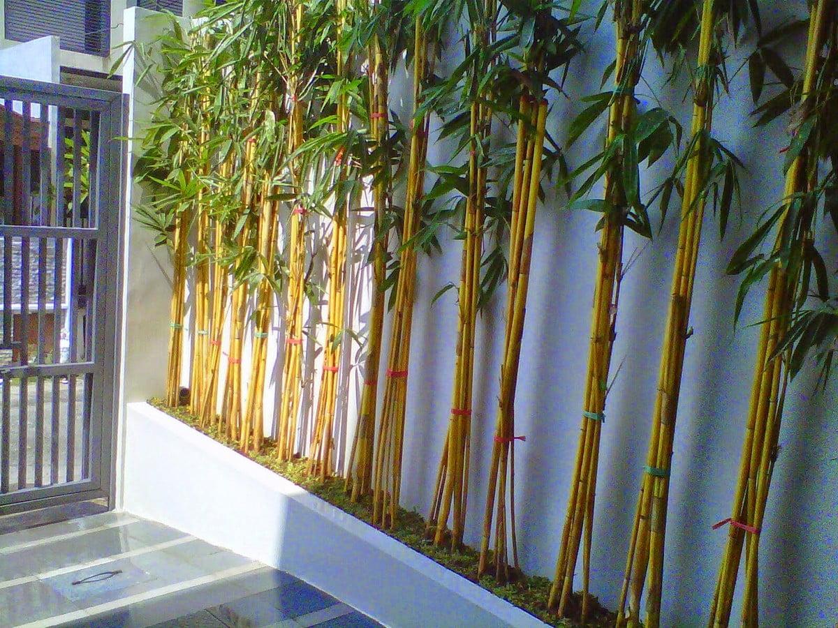 Tanaman Hias Batang Bambu Kuning