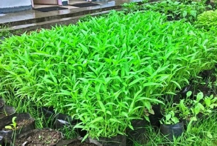 Cara menanam kangkung di media polybag atau pot