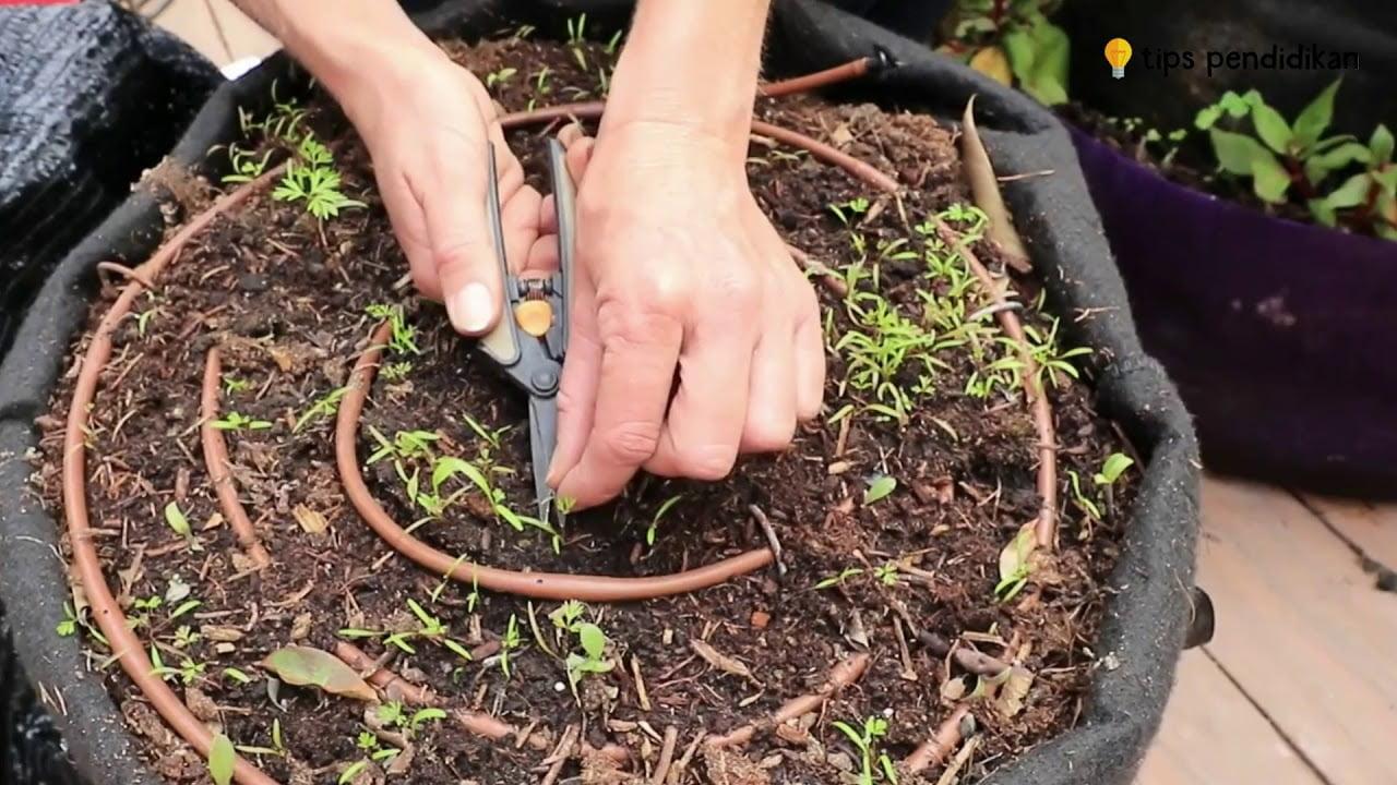 Cara menanam wortel di polybag