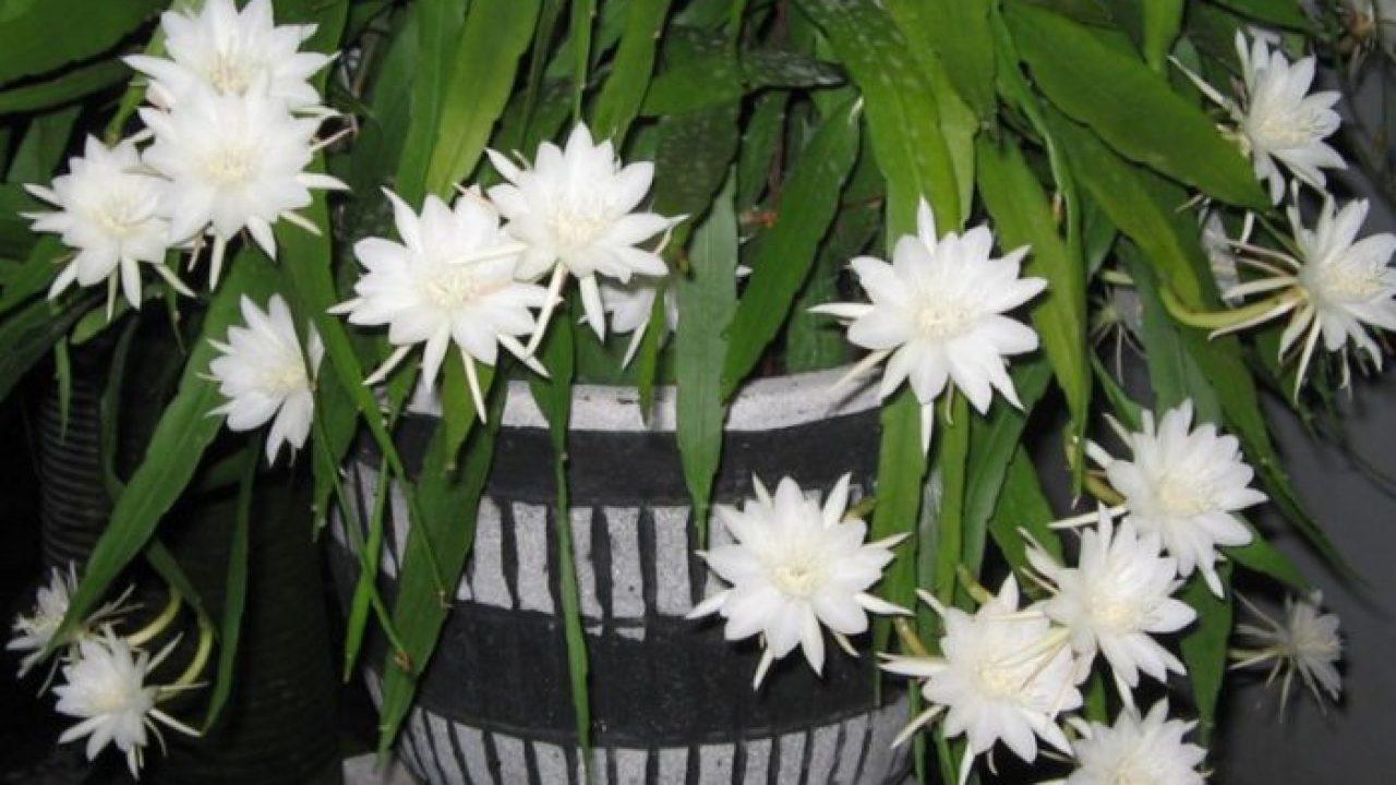 Manfaat bunga wijaya kusuma
