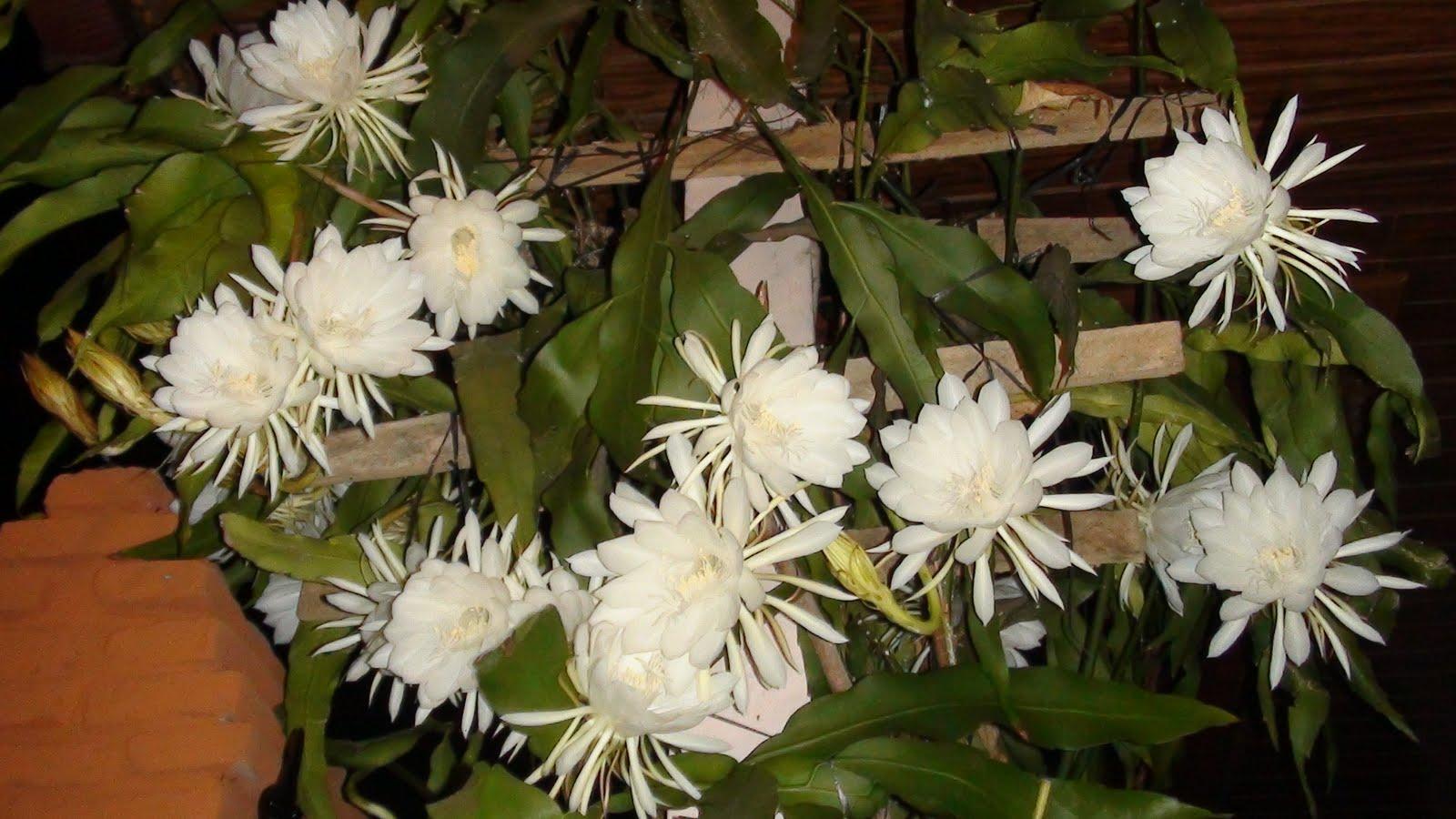 Tekstur dan Aroma bunga wijaya kusuma