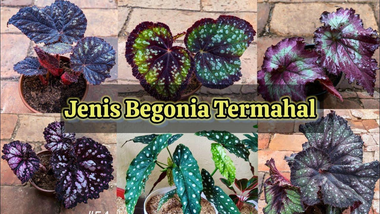Cara Merawat Tanaman Begonia