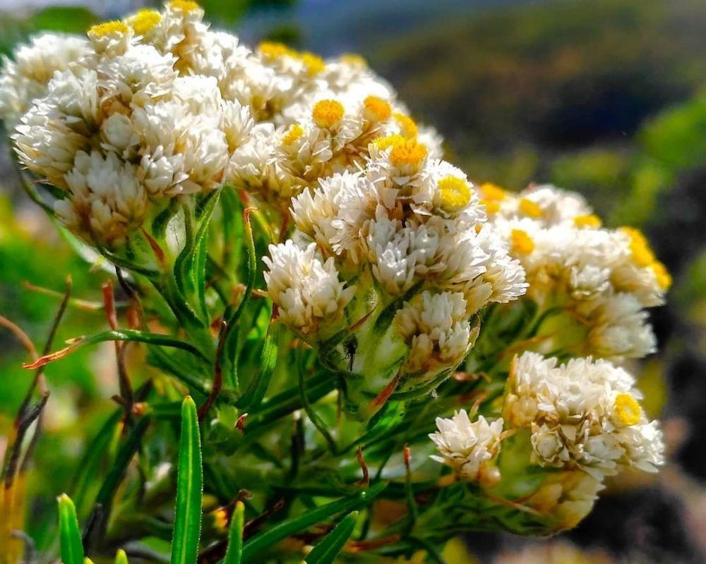 Edelweiss Jawa Tumbuhan yang Dilindungi di Indonesia