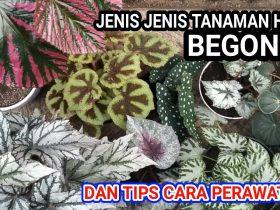 Jenis Tanaman Begonia dan Perawatannya