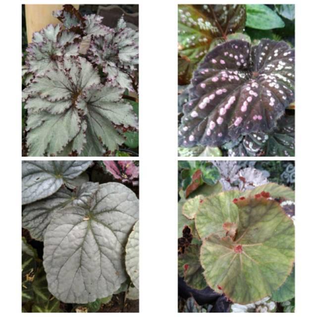 Jenis Tanaman Begonia