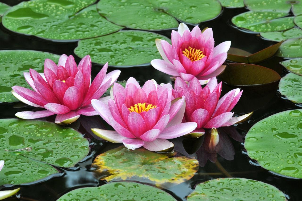 Cara Merawat Tanaman Bunga Lotus