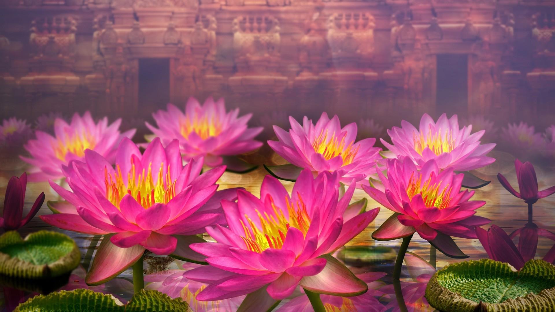 Tanaman Bunga Lotus atau Seroja