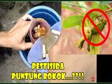 Insektisida organik puntung rokok